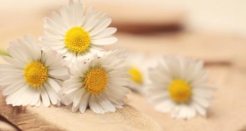 daisy-2313971_1920