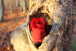 Rose am Grab - die Trauer ist präsent